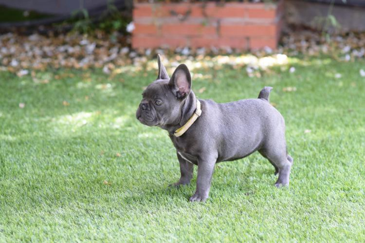 cachorros_bulldog_frances_blue.jpg