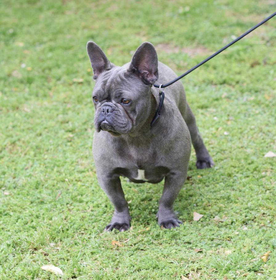 Criadores De Bulldog Francés Rosa Dorada Inicio Cachorros